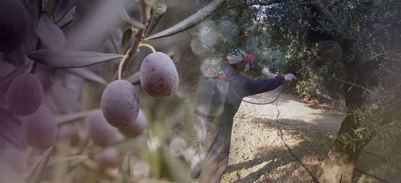 Πρέβεζα: Ξεκινούν ψεκασμοί για τον δάκο