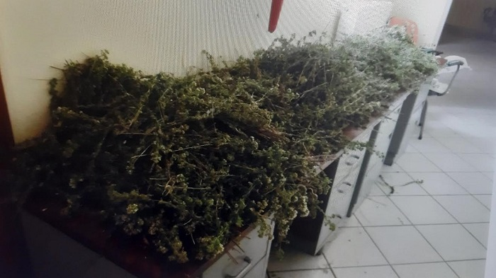 Κεφαλόβρυσο: Είχαν «θερίσει» 50 κιλά τσάι και ρίγανη