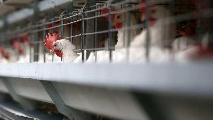 Ανακαλούνται «βιολογικά» κοτόπουλα και αυγά