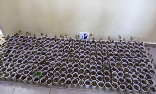 Θεσπρωτία: Σε δάσος των Φιλιατών 659 δενδρύλλια και 277 φυτά κάνναβης (ΦΩΤΟ)