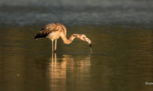flamingko limni