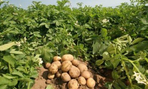 patates ioan